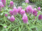 Photo Red Feathered Clover, Ornamental Clover, Red Trefoil, lilac