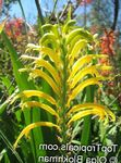 Photo Pennants, African Cornflag, Cobra Lily, yellow