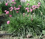 Photo Sea pink, Sea thrift, pink