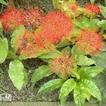 Photo Torch Lily, Blood Lily, Paintbrush Lily, Football Lily, Powderpuff Lily, Fireball Lily, red