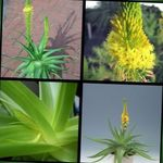 Photo Bulbine, Bulbinella, Burn Jelly Plant, Stalked Bulbine, Orange Bulbine, yellow