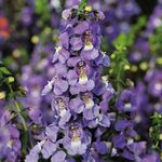 Photo Angelonia Serena, Summer Snapdragon, purple