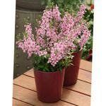 Photo Angelonia Serena, Summer Snapdragon, pink