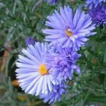 Photo Aster, light blue
