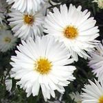 Photo Aster, white
