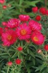 Photo New England aster, red