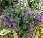 Photo New England aster, lilac