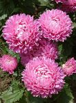 Photo China Aster, pink