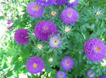 Photo China Aster, purple