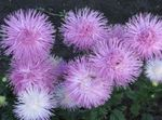 Photo China Aster, lilac