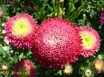Photo China Aster, red