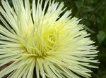 Photo China Aster, yellow