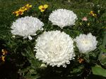Photo China Aster, white