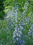 Photo False indigo, light blue