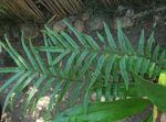 Photo Ostrich Fern, Garden Fern, Shuttlecock Fern, green