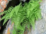 Brittle Bladder Fern, Fragile Fern, Brittle Fern