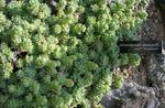 Photo Rosularia, light green Succulents