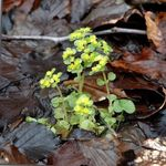 Photo Golden saxifrage, light green Leafy Ornamentals