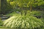 Photo Hakone Grass, Japanese Forest Grass, light green Cereals