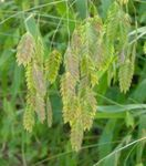 Photo Spangle grass, Wild oats, Northern Sea Oats, green Cereals