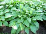 Photo Plantain lily, green Leafy Ornamentals