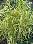 Photo Bowles Golden Grass, Golden Millet Grass, Golden Wood Millet, yellow Cereals