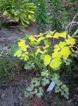 Photo Double Columbine, yellow Leafy Ornamentals