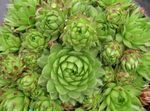Photo JovibarbaHouseleek, Hen-and-Chickens, light green Succulents