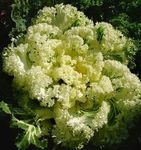 Photo Flowering Cabbage, Ornamental Kale, Collard, Cole, yellow