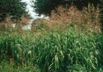 Photo Big Bluestem, Turkeyfoot, green Cereals