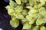 Photo Dead nettle, Spotted Dead Nettle, yellow Leafy Ornamentals