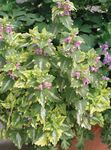 Photo Dead nettle, Spotted Dead Nettle, multicolor Leafy Ornamentals