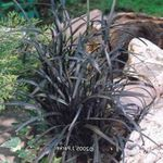 Photo Lily-turf, Snake's beard, Black Dragon, Black Mondo Grass, silvery Leafy Ornamentals