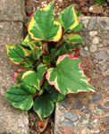 Photo Chameleon plant, multicolor Leafy Ornamentals