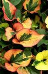 Photo Chameleon plant, green Leafy Ornamentals