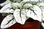 Photo Polka dot plant, Freckle Face, white Leafy Ornamentals
