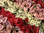 Photo Polka dot plant, Freckle Face, red Leafy Ornamentals