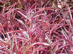 Photo Alternanthera, red Leafy Ornamentals