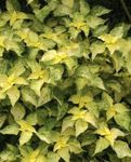 Photo False Nettle, Japanese Boehmeria, yellow Leafy Ornamentals