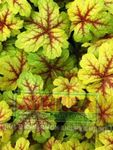 Heucherella, Foamy Bells