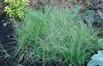 Photo Buffalo Grass, light blue Cereals