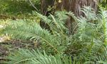 Photo Virginia Chain Fern, green