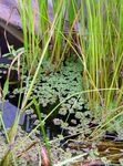 Mosquito Plant, Mosquito Fern