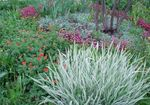 Photo Ribbon Grass, Reed Canary Grass, Gardener's Garters, multicolor Cereals