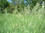 Scented holy grass, Sweetgrass, Seneca Grass, Vanilla Grass, Buffalo Grass, Zebrovka