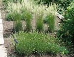 Photo Glaucous Hair-Grass, Large Blue June Grass, Large Blue Hair Grass, green Cereals