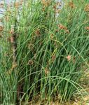 Photo The true Bulrush, green Aquatic Plants
