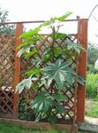 Photo Castor Bean, Caster Oil Plant, Mole Bean, Higuera Infernal, green Leafy Ornamentals