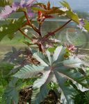 Photo Castor Bean, Caster Oil Plant, Mole Bean, Higuera Infernal, burgundy,claret Leafy Ornamentals