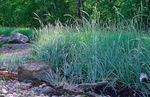 Photo Blue Lyme Grass, Sand Rye Grass, light blue Cereals